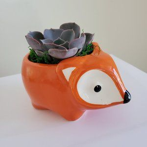 Other - Echeveria Morning Beauty in Flora the Fox Planter
